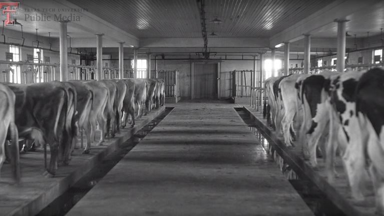 Inside Texas Tech: Dairy Barn