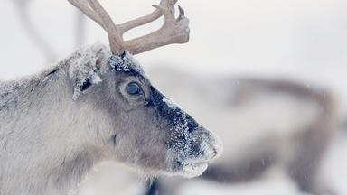 Follow Thousands of Reindeer on an Epic Journey