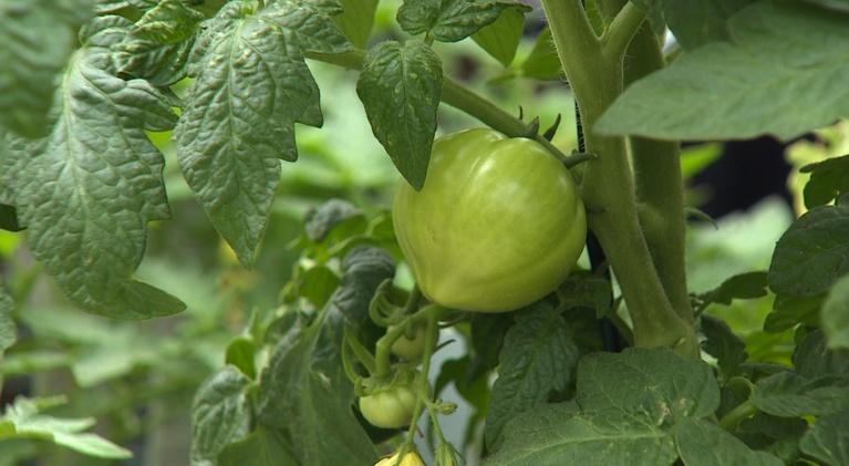 Backyard Farmer: Backyard Farmer:   Tomatoes and the Backyard Farmer Garden