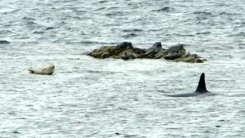 Nature -- The Sneaky Way Orcas Hunt Seals