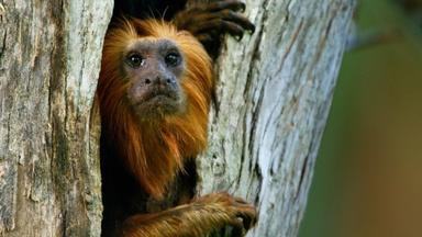 Devoted Tamarin Dad Leads His Family