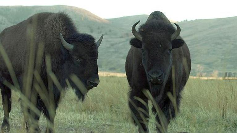 Farm to Fork Wyoming: Bison