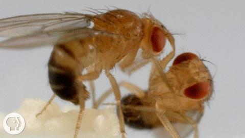 Deep Look -- S4 Ep4: These Fighting Fruit Flies Are Superheroes of Brain