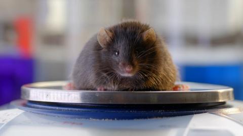 NOVA -- How the Hormone Leptin Helps Regulate Appetite