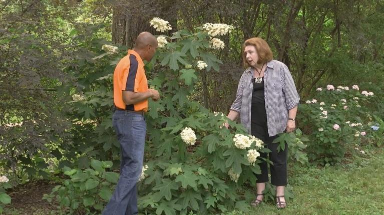The Family Plot: Hydrangeas & Spraying Tall Plants