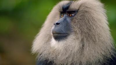 Macaque Cons Squirrel Into a Free Meal