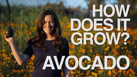How Does It Grow -- Avocado