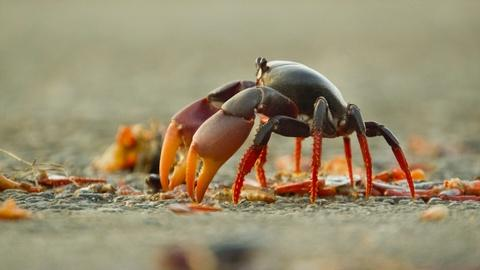 Nature -- Swarm of Crab Mothers Cross Traffic to Lay Thousands of Eggs