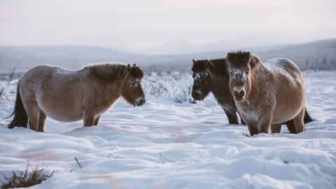 Nature -- These Arctic Horses Don't Mind the Cold