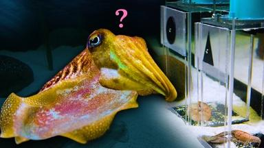 Can this Cuttlefish Pass an Intelligence Test?