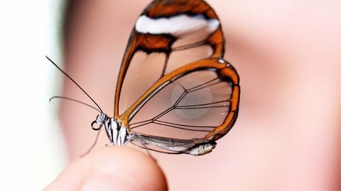 Deep Look -- Glasswing Butterflies Want To Make Something Perfectly Clear