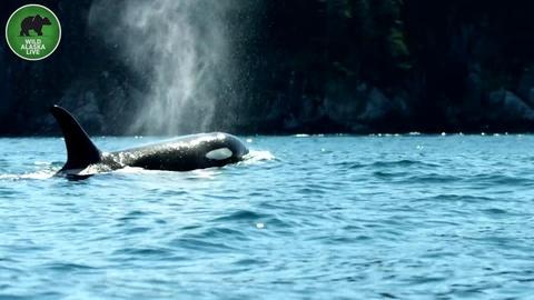 Wild Alaska Live -- The Man Who Speaks Orca