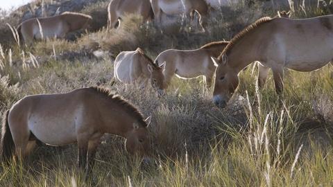 Nature -- The Wild Horses That Beat Extinction