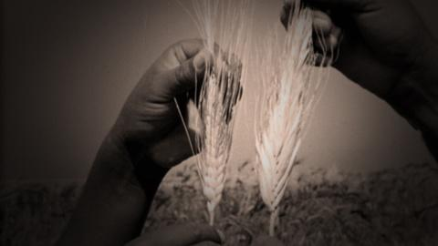 American Experience -- Search for high-yield Wheat