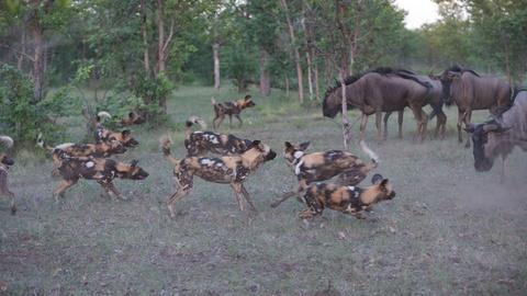 Nature -- Wild Dogs Take on Wildebeest