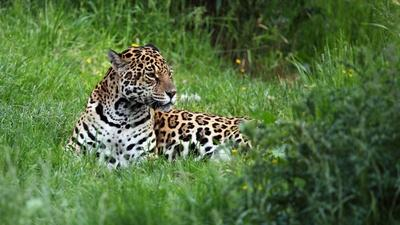 PBS NewsHour | Group aims to reintroduce endangered Jaguars to Argentina