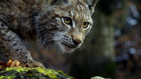 Nature -- Forest Lynx Stalks Prey