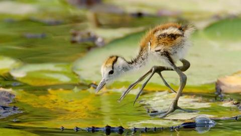 Nature -- Jacana Dad Rescues Chicks from Crocodile