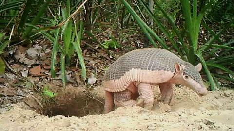 This Little Armadillo Was a Big Ambassador for His Species