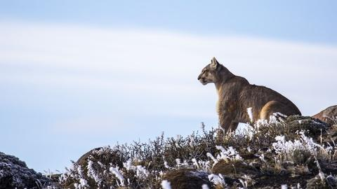 Nature -- Preview of Pumas: Legends of the Ice Mountains