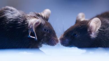 Cannabis Reverses Brain Aging in Mice
