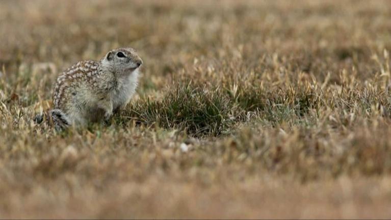 Texas Wild: Mexican Ground Squirrel