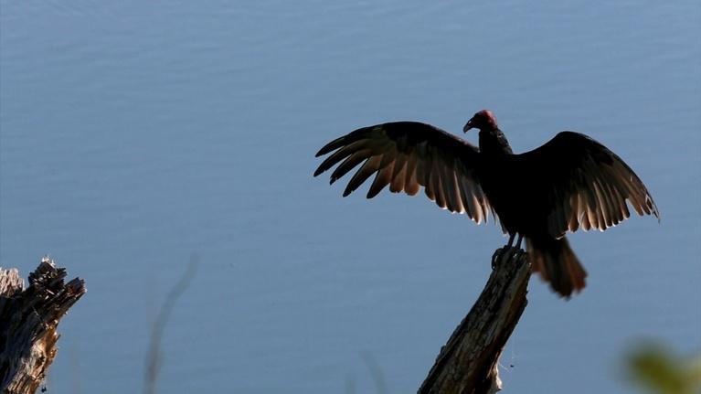 Texas Wild: Turkey Vultures