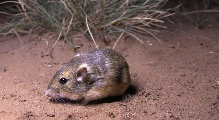 Texas Wild: Pocket Mouse