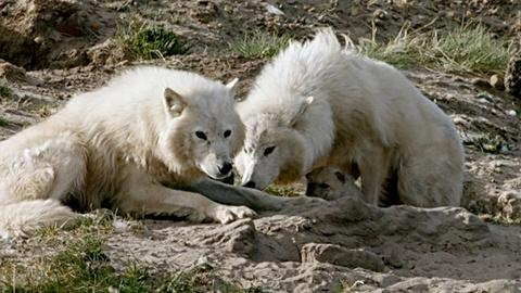 Nature -- Wolf Pup Nursed by Two Mothers