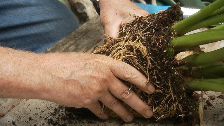 Lakewold Gardens: Dividing Perennials