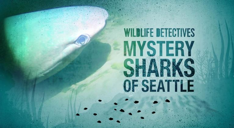 KCTS 9 Documentaries: Searching For The Mystery Sharks of Seattle