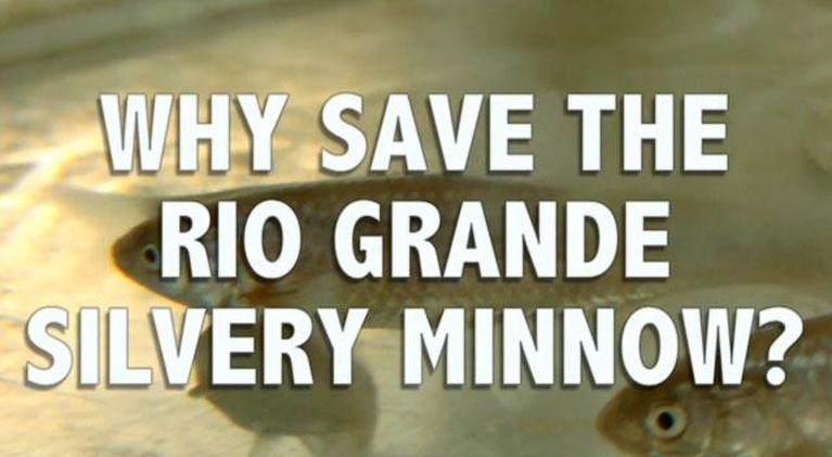 Webisodes: Why Save the Rio Grande Silvery Minnow?