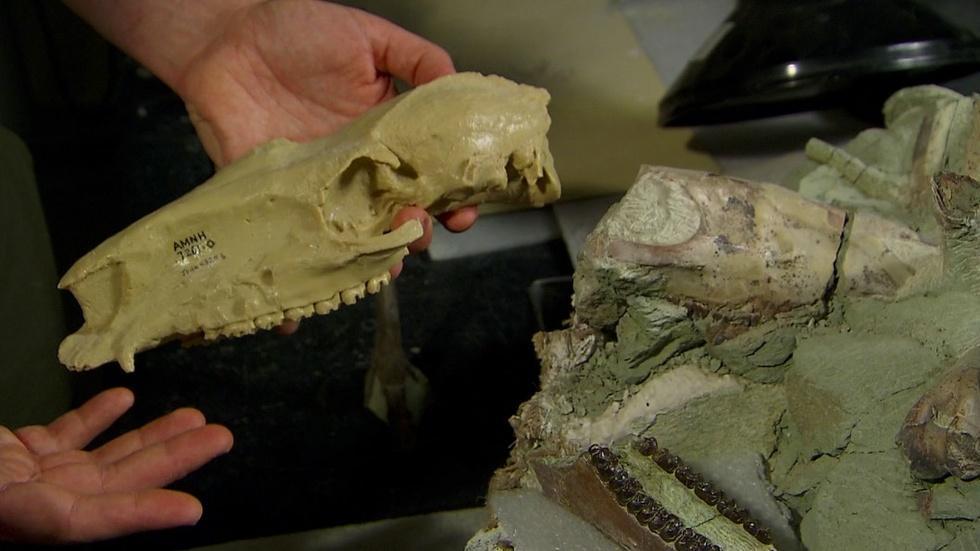 Joshua Samuels Describes a Three-toed Fossil Horse Skeleton image