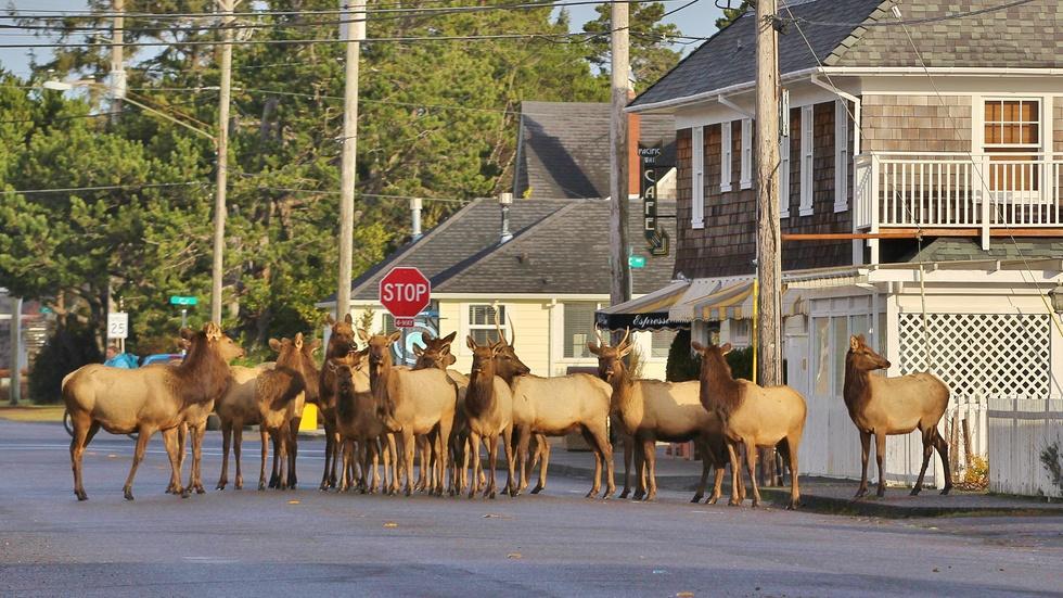 Gearhart Elk Herd image