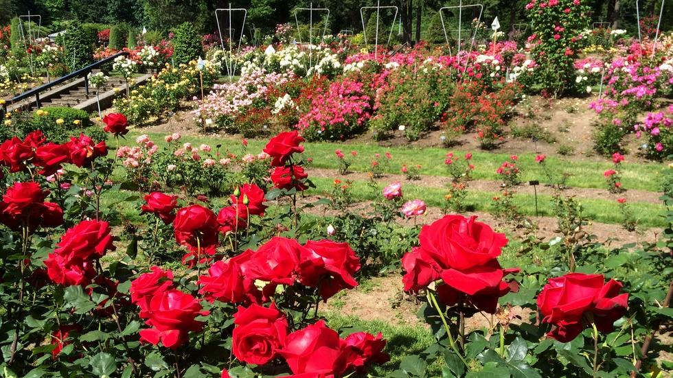 A Year In The Portland Rose Garden  image