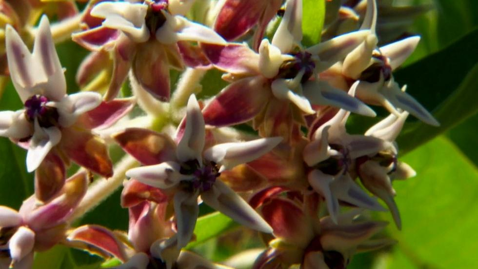 Monarchs & Milkweed image