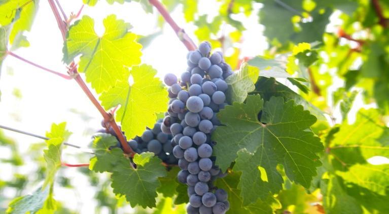 Washington Grown: Wine
