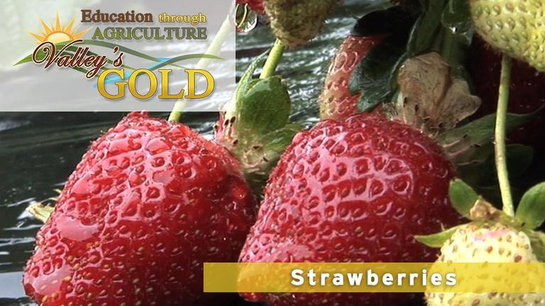 Valley's Gold Season 2: Education Through Agriculture: Strawberries