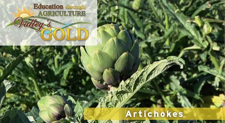 Valley's Gold Season 3: Education through Agriculture: Artichokes