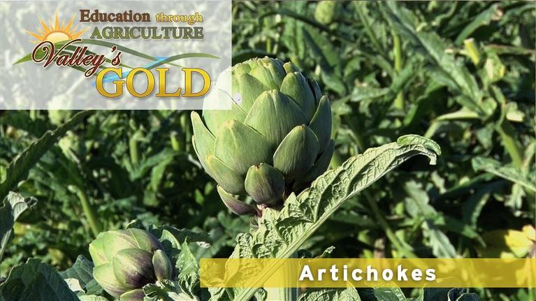 Valley's Gold Season 3: Education through Agriculture: Artichokes