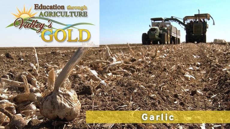 Valley's Gold Season 3: Education through Agriculture: Garlic