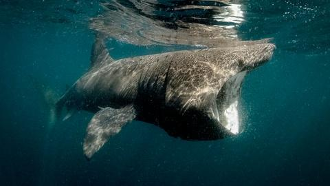 Ireland's Wild Coast -- Basking Sharks
