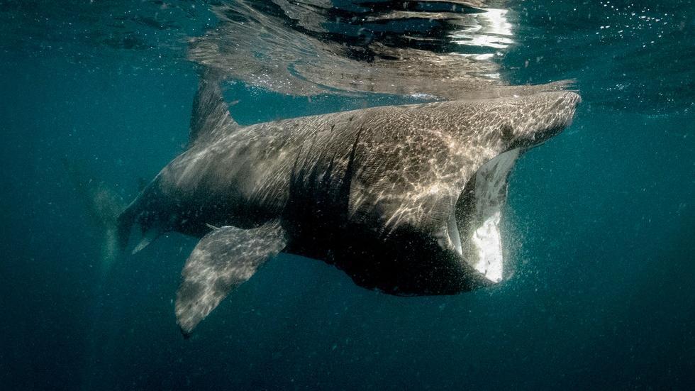 Basking Sharks image