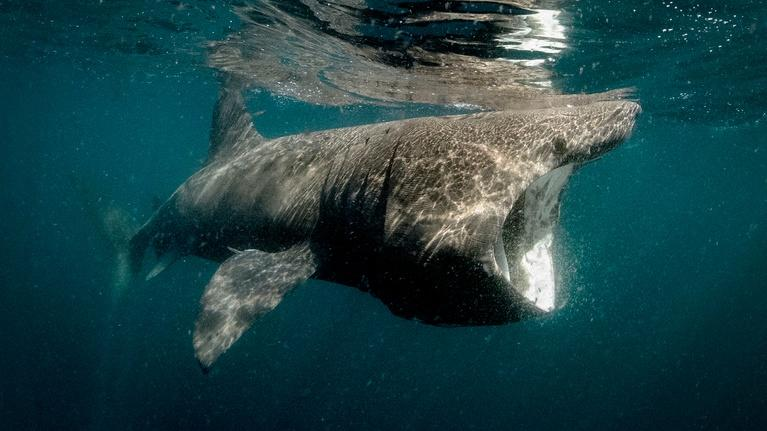 Ireland's Wild Coast: Basking Sharks
