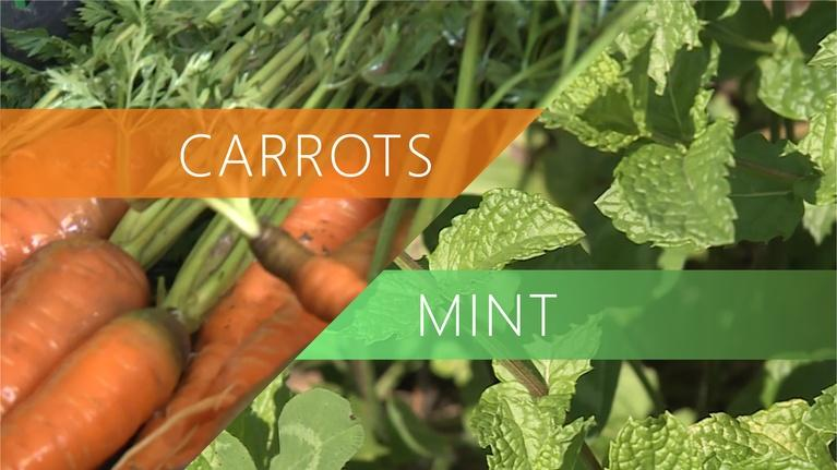 The Local Feed: Carrots | Mint