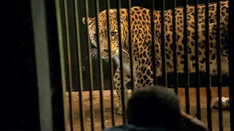 Rare -- Creature Clip: Persian Leopard