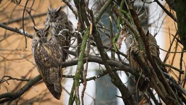The Largest Long-Eared Owl Roost in the World
