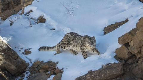Nature -- The Severity of Snow Leopard Survival