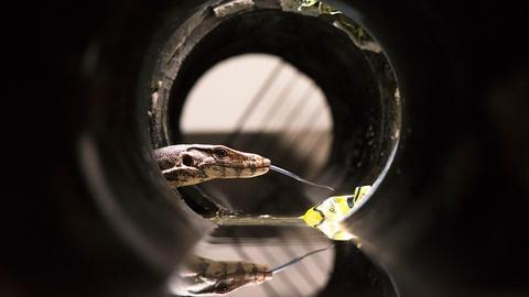 Wild Metropolis -- Water Monitors Go Underground to Commute Across Bangkok