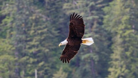 Wild Alaska Live -- Wild Bald Eagle in Flight